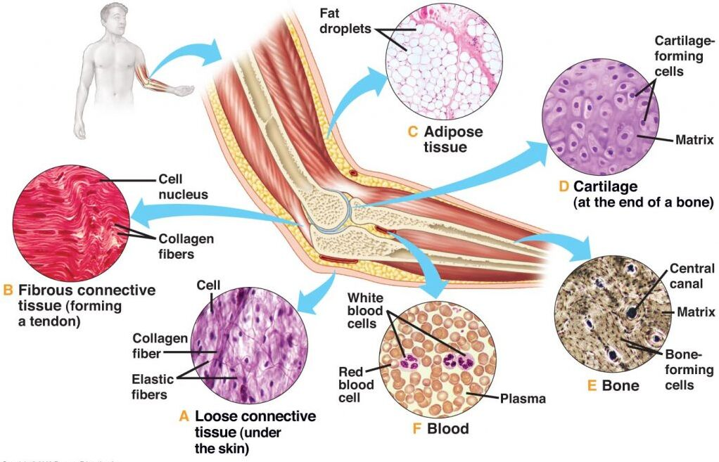 Human Body Tissues Anatomical Structure In Detail