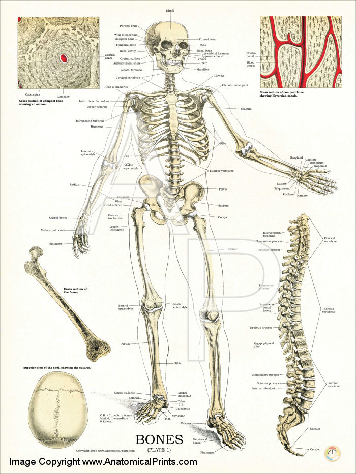 Human Skeleton Bone Diagram