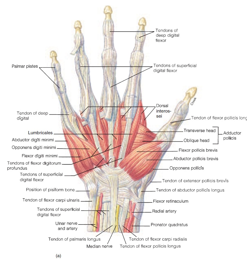 Hand Tendon And Muscle Anatomy