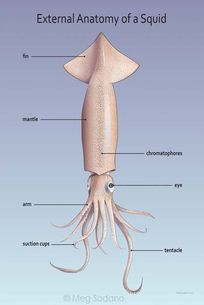 External Anatomy Of A Squid