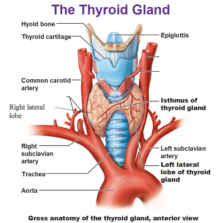 Gross Anatomy Of The Thyroid Gland Anterior View