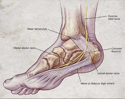 Tibial Nerve Innervation Anatomy