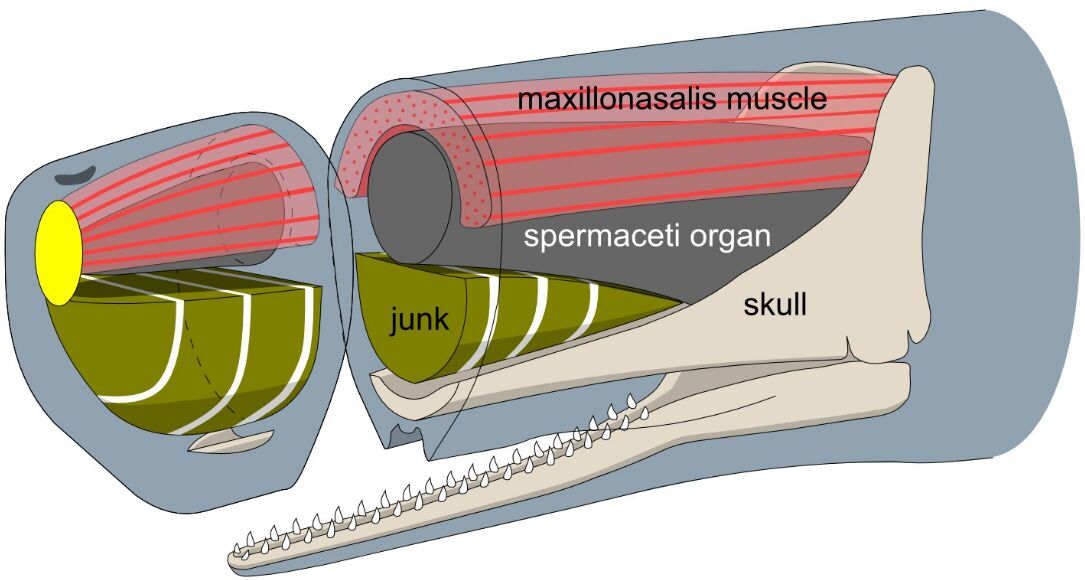 Sperm Whale Head Anatomy