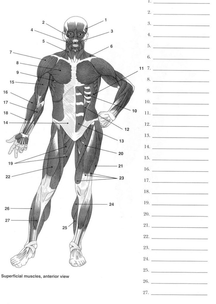 Human Muscles Anatomy Un-labeling