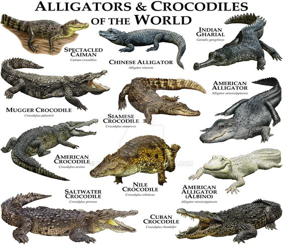 Alligators And Crocodiles Of The World