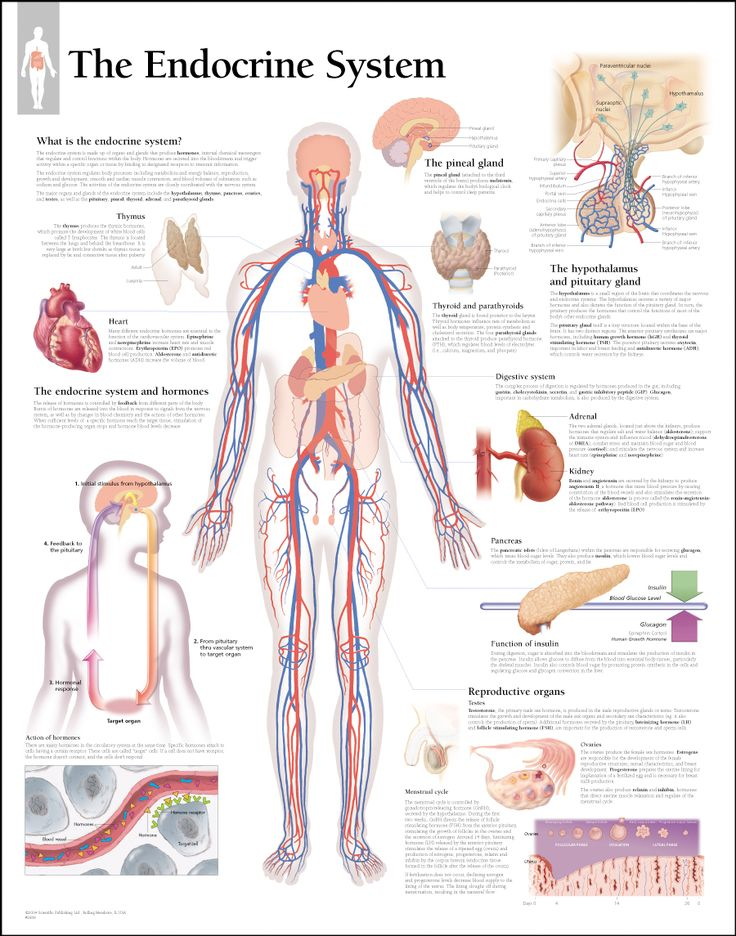 The Endocrine System In The Human Body
