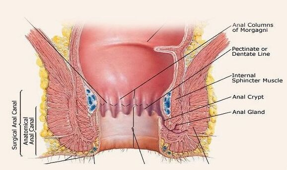 Surgical Anal Canal And Anatomical Anal Canal