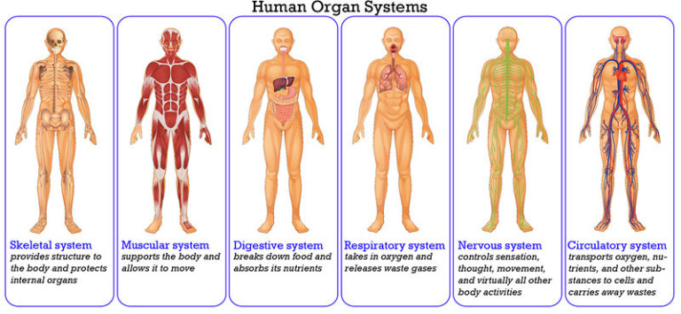Human Organ Systems Introduction