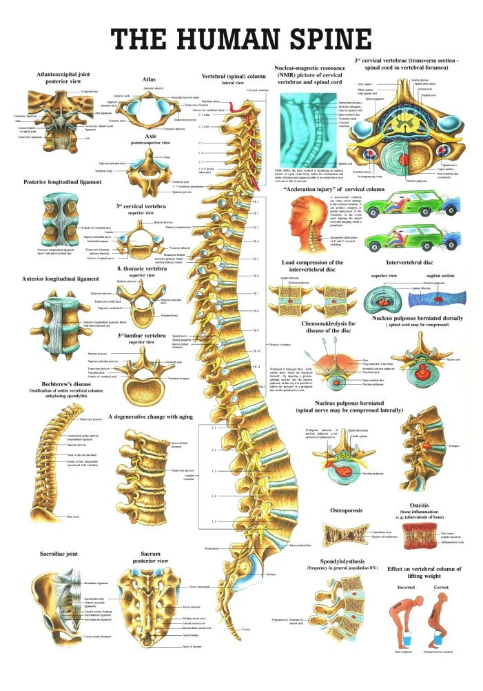 The Human Spine Anatomy In Detail