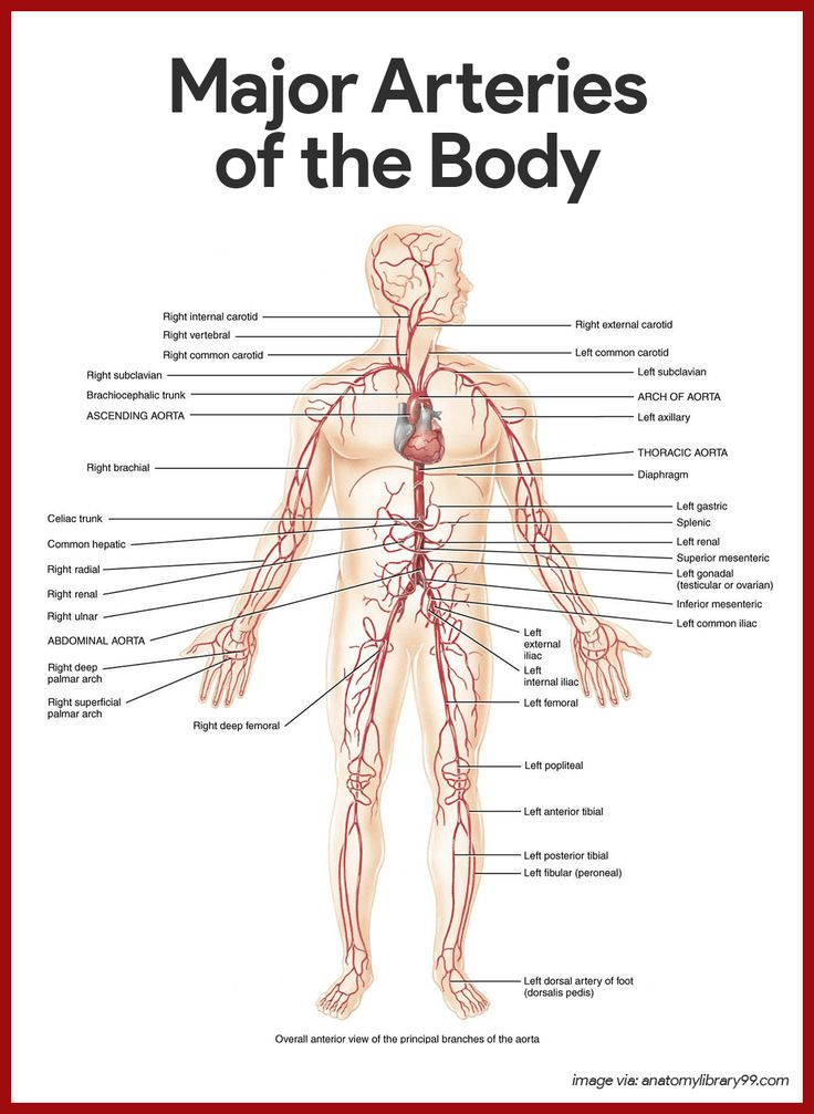 Major Arteries Of The Body