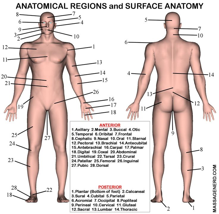 Anatomical Regions And Surface Anatomy Diagram