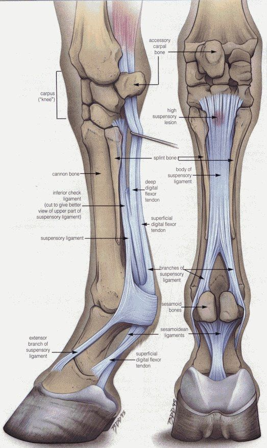 Leg Tendon Anatomy Of The Horse