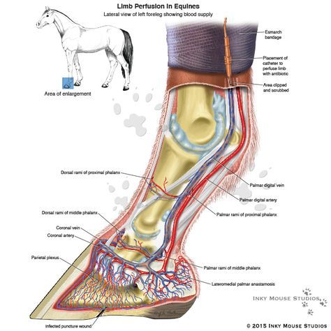 Limb Perfusion In Equines Anatomy