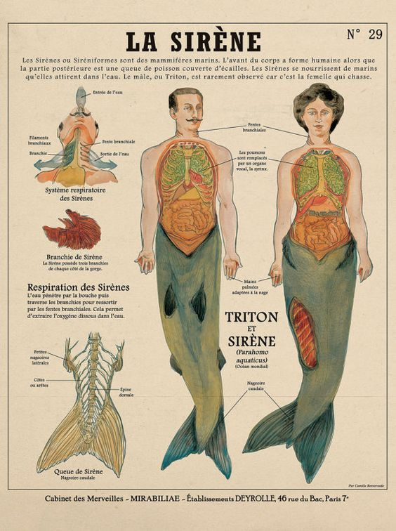 Male Merman And Female Merman Anatomy