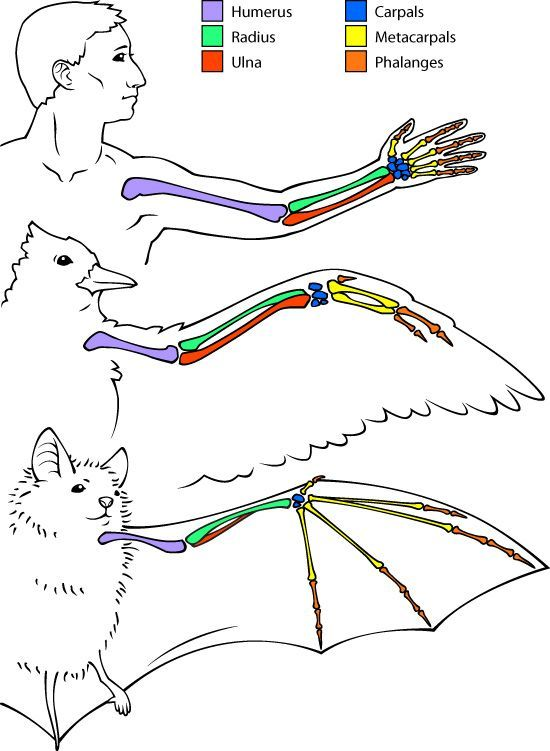 Human, Birds, And Bats Arm Anatomy