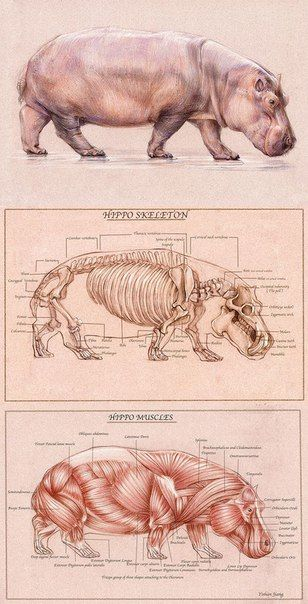 Hippo Skeleton Anatomy And Muscle Anatomy