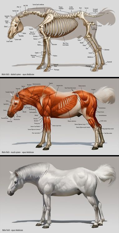 Horse Skeleton Anatomy And Muscle Anatomy