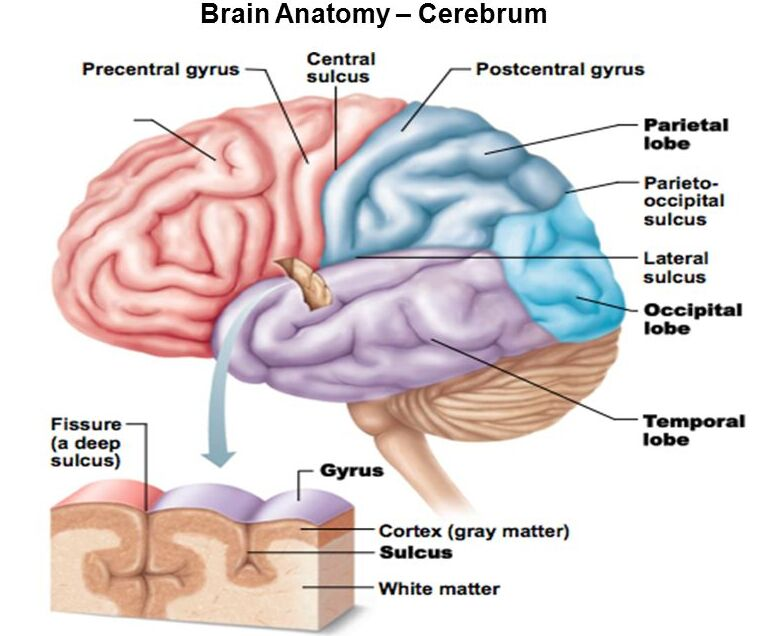 Brain Cerebrum Anatomical Structure