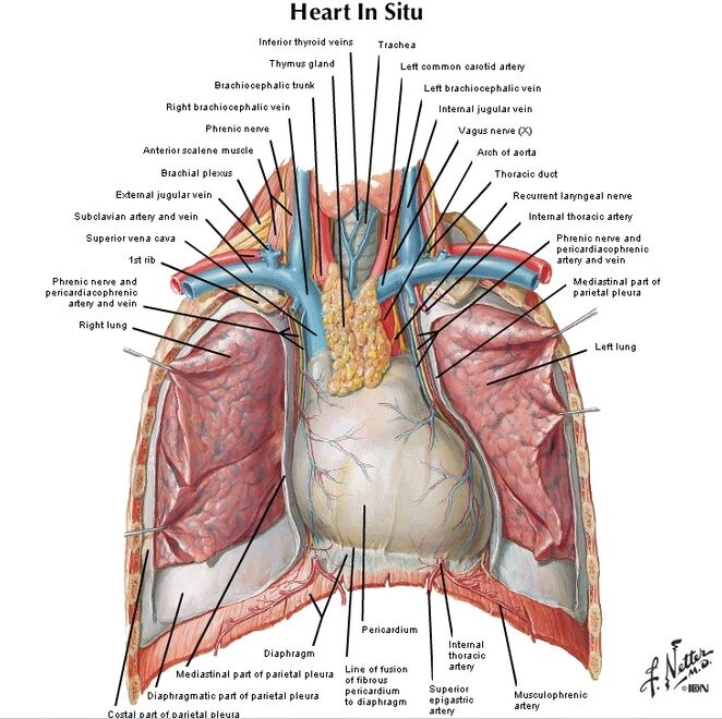 Heart In Situ Anatomy
