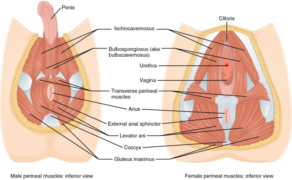 Male Perineal Muscles And Female Perineal Muscles Inferior View