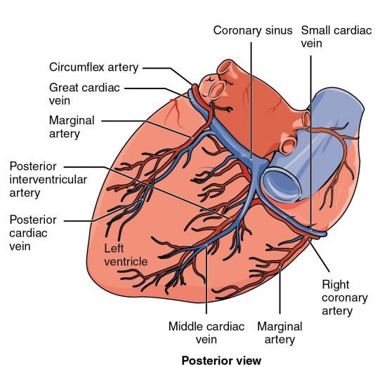 Posterior View Of Heart And Blood Supplement Diagram