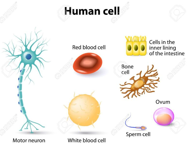 Different Types Of Human Cells