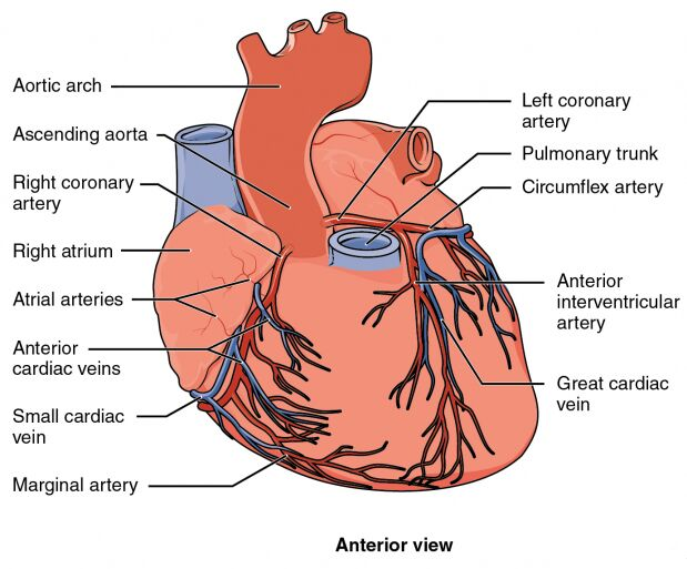 Anterior View Of Heart And Blood Supplement Diagram