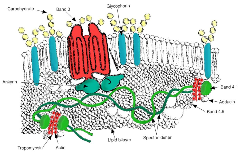Human Cell Membrane Structure