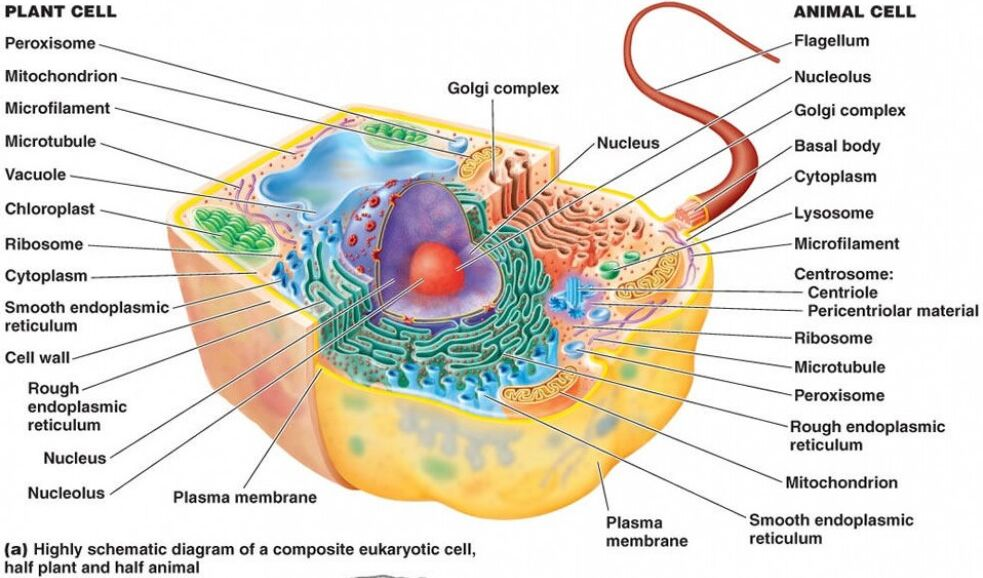 Plant Cell And Animal Cell Structure Comparison