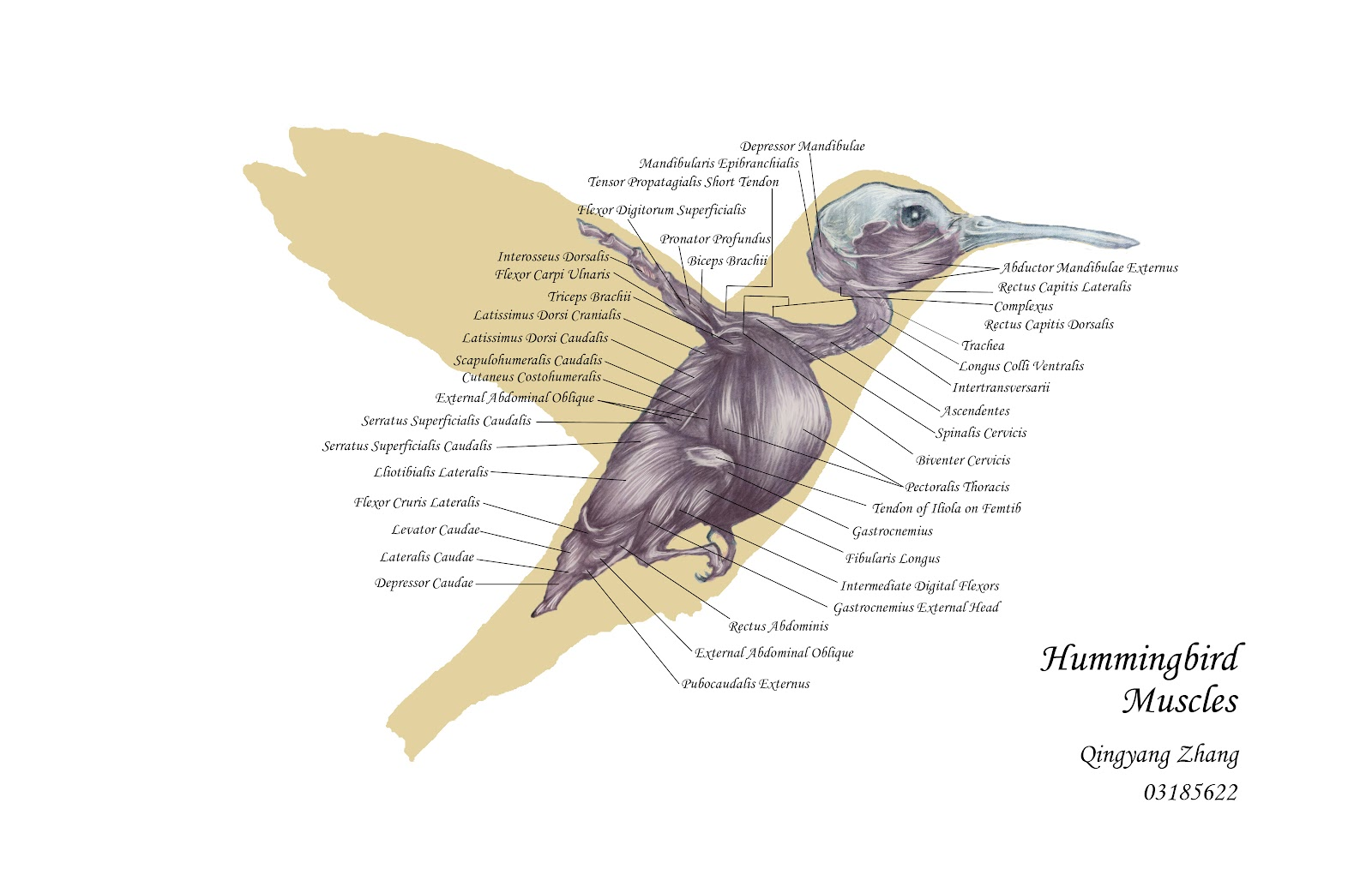 Hummingbird Muscle Anatomy
