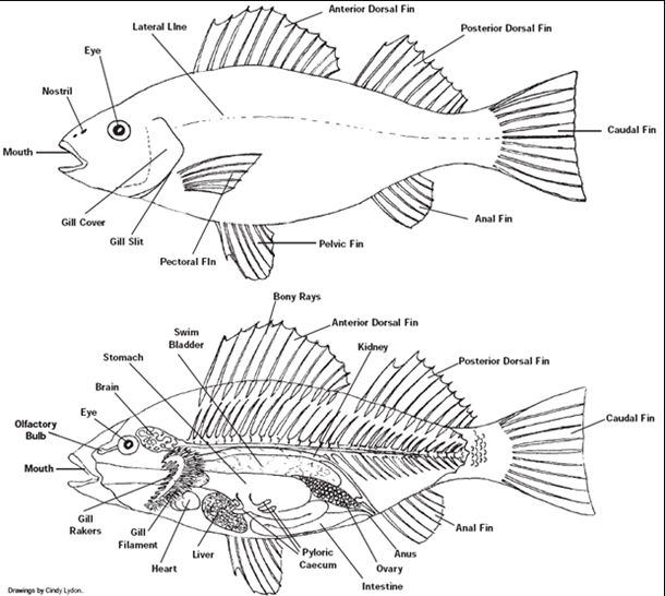 Fish Internal Organ Anatomy And External View