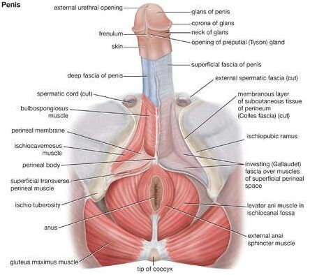 Penis Anatomical Structure