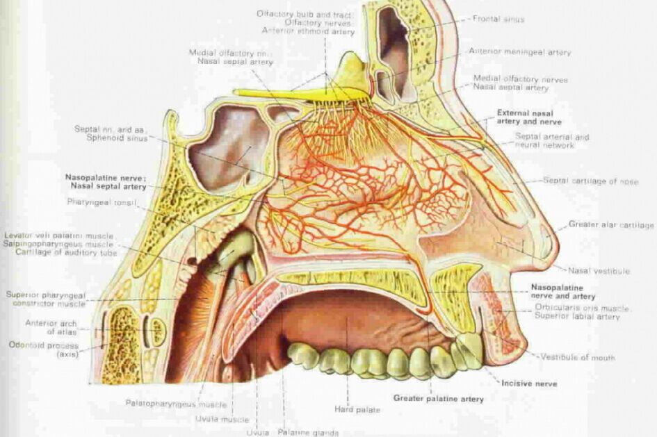 Nasal Cavity Anatomical Structure Inner View