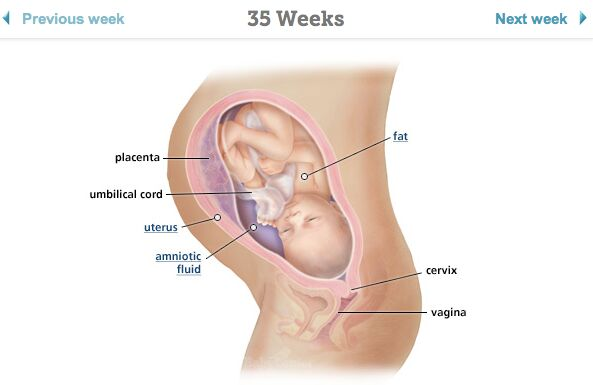 Pregnant 35 Weeks Diagram