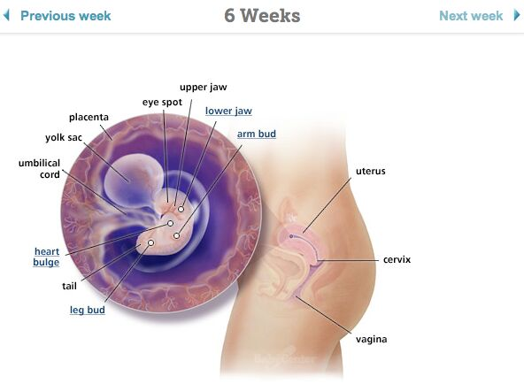 Pregnant 6 Weeks Diagram