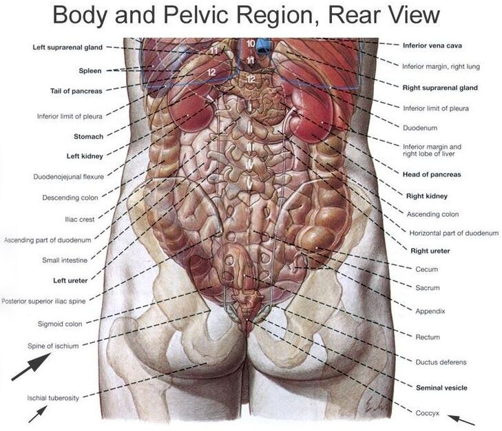 Body And Pelvic Region Rear View