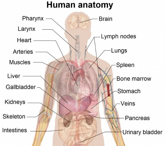 Human Body Parts Anatomical Structure