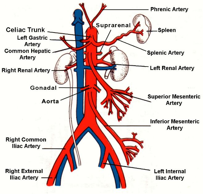 Vena Cava And Aorta Diagram