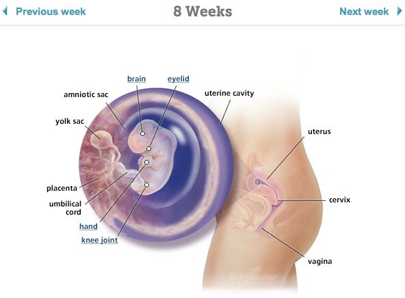 Pregnant 8 Weeks Diagram