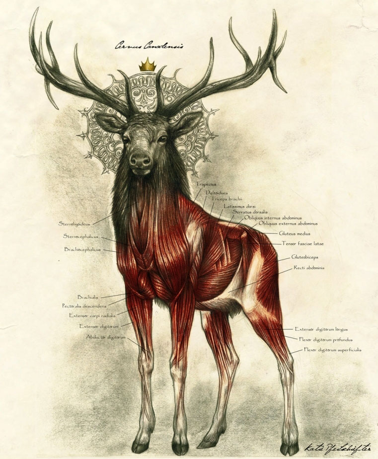 Deer King Anatomy Muscle Diagram