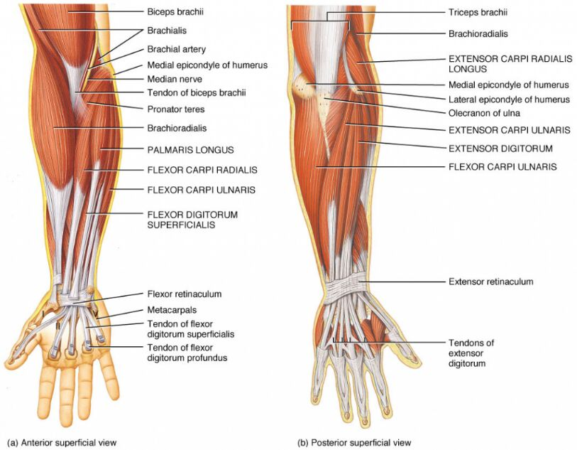 Anterior View And Posterior View Of Forearm Muscles And Tendon In Detail