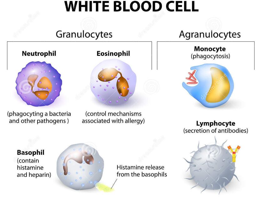 White Blood Cell Types