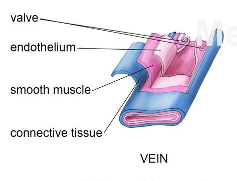 Vein Layer Anatomical Structure