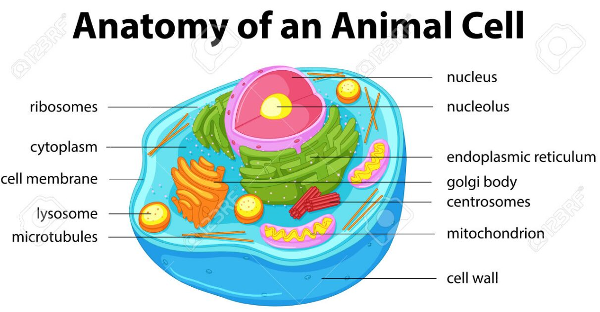 Animal Cell Anatomy In Detail