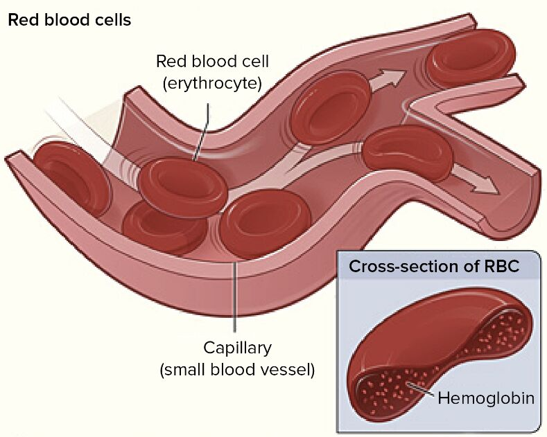 Red Blood Cell Capillary And Cross-section View