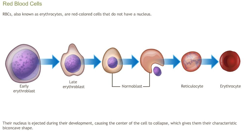 Red Cell Erythrocyte Development