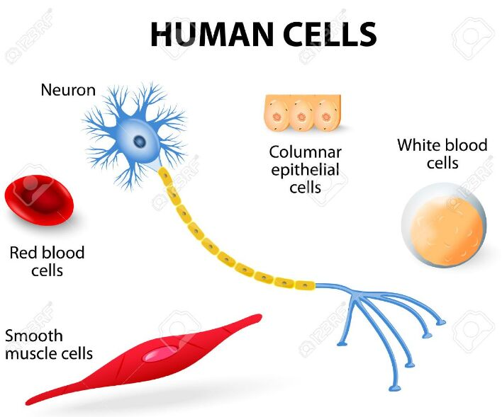 Human-cells-types-include-blood-cell-muscle-cell-neuron-epithelial-cell.jpg (708×589)