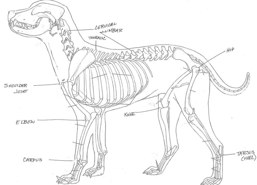 Dog Skeleton Structure