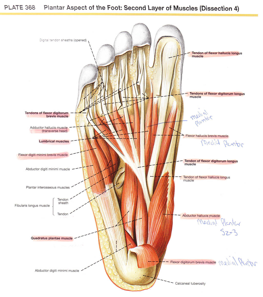 Plantar Aspect Of The Foot In Detail