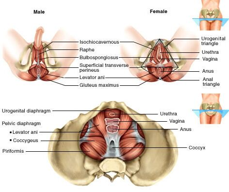 Male And Female Pelvic Diaphragm View